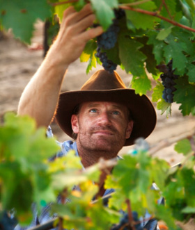 Australian-looking man with hat inspecting grapes