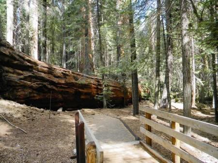 LA Times picture of Fallen Tree