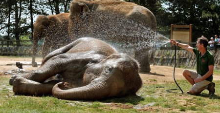 An elephant being cooled down. Image courtesy of the Guardian