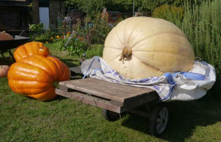 The pumpkin in teh wheelbarrow at the back weighed 25 kg. Teh two 'large' orange pumpkins weighed 85 and 95 kg. But how  could we weigh the big one?